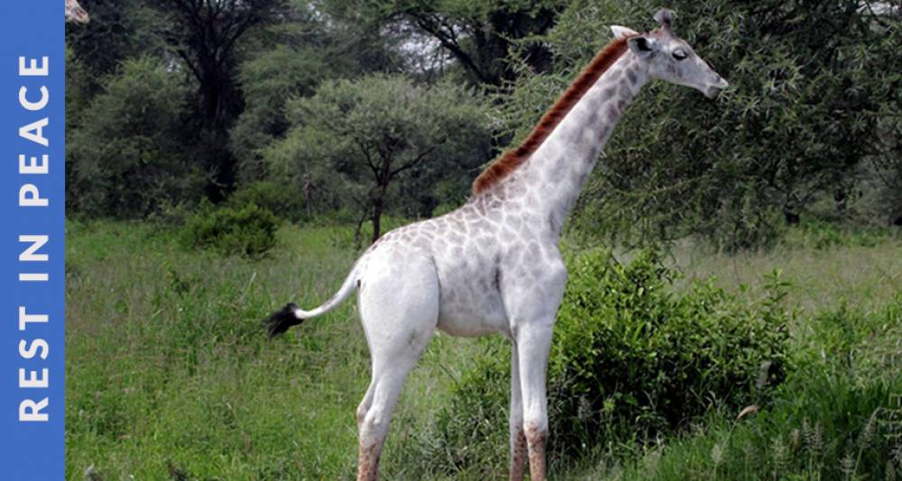 World's Only Female White Giraffe & Her Calf was Killed by Poachers